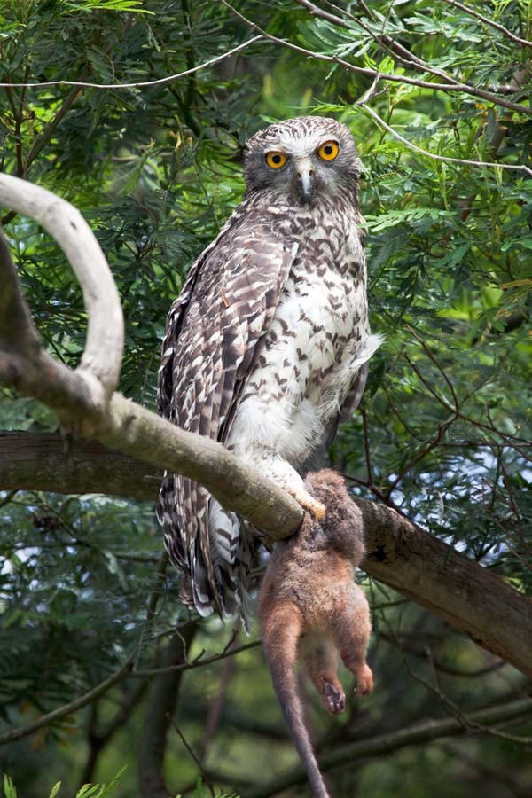 Powerful Owl | Ninox strenua photo