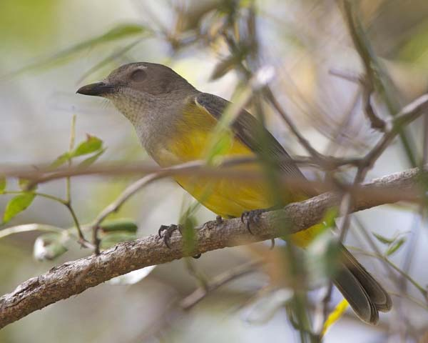Mangrove Golden Whistler | Pachycephala melanura photo