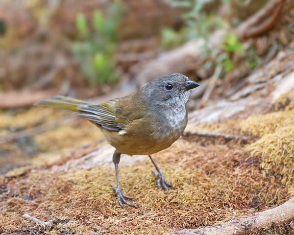 Olive Whistler | Pachycephala olivacea photo