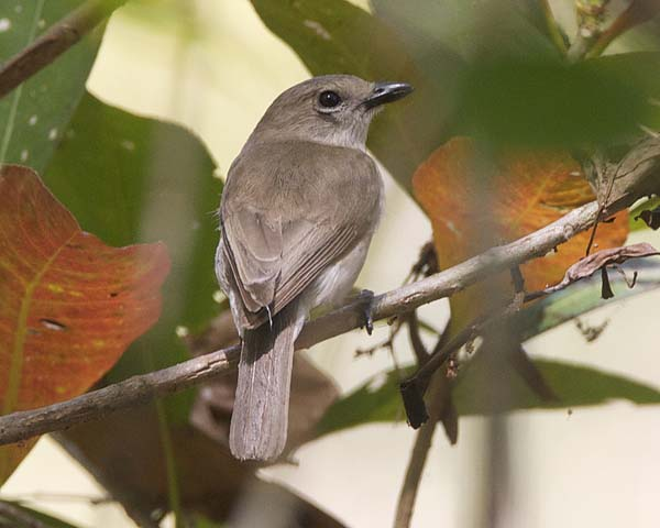 Grey Whistler | Pachycephala simplex photo