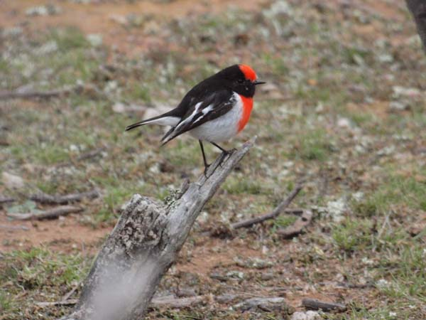 Red-capped Robin | Petroica goodenovii photo