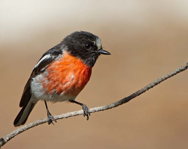 Flame Robin | Petroica phoenicea photo