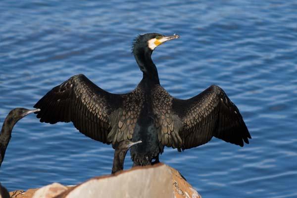 Great Cormorant | Phalacrocorax carbo photo