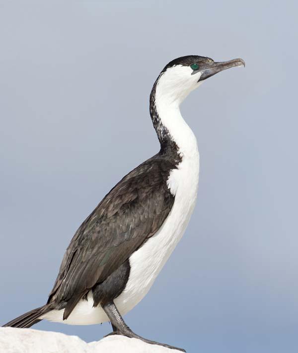 Black-faced Cormorant | Phalacrocorax fuscescens photo