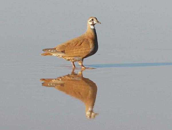 Flock Bronzewing | Phaps histrionica photo