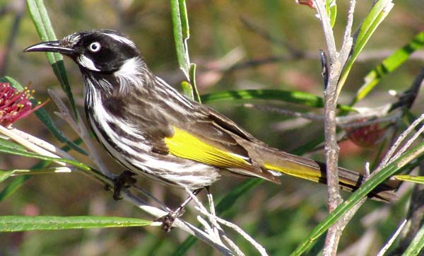 New Holland Honeyeater | Phylidonyris novaehollandiae photo