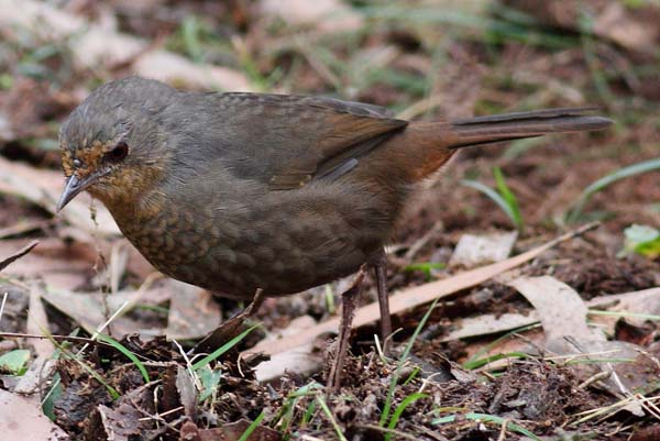 Pilotbird | Pycnoptilus floccosus photo