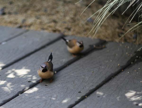 Black-throated Finch | Poephila cincta photo