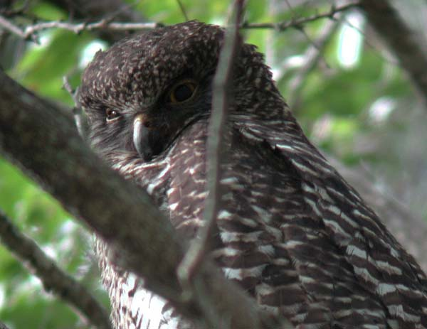 Powerful Owl   Ninox strenua photo