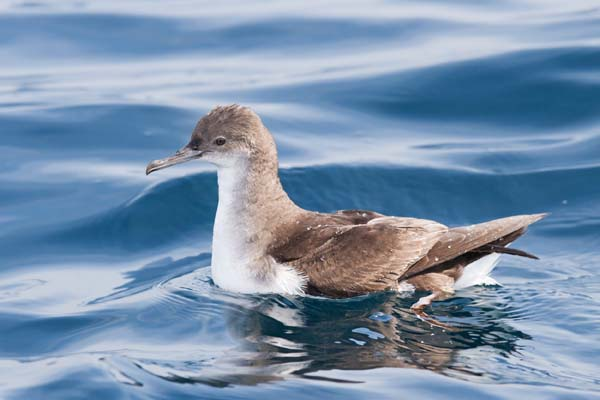 Fluttering Shearwater | Puffinus gavia photo