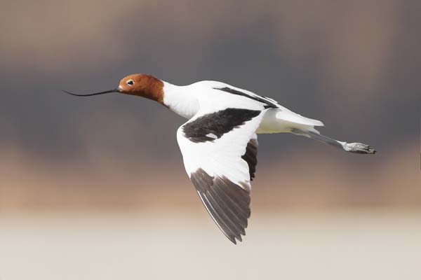 Red-necked Avocet | Recurvirostra novaehollandiae photo
