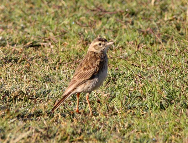 Australasian Pipit | Anthus novaeseelandiae photo