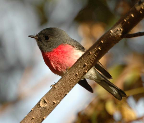 Rose Robin | Petroica rosea photo