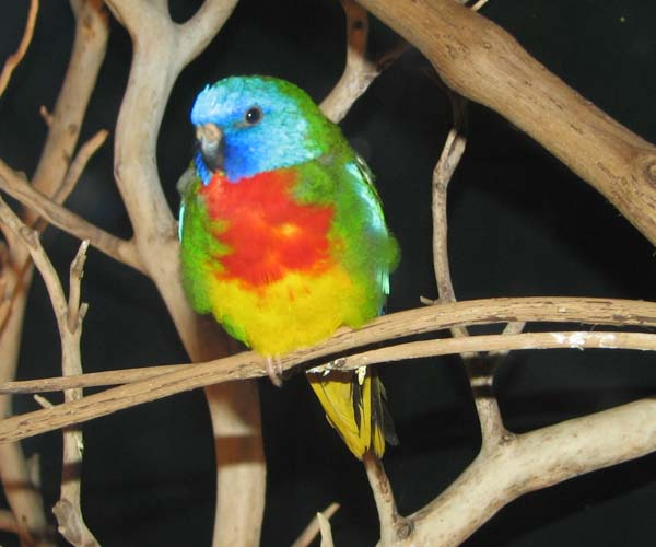 Scarlet-chested Parrot | Neophema splendida photo