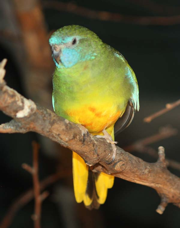 Scarlet-chested Parrot | Neophema splendida photo
