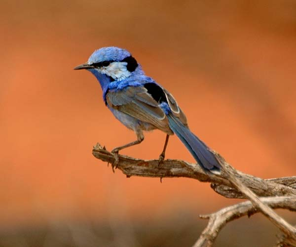 Splendid Fairy-wren | Malurus splendens photo