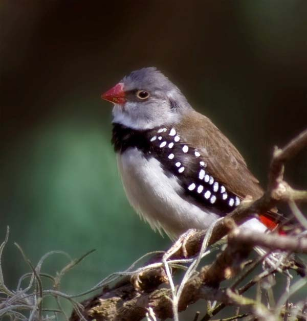 Diamond Firetail | Stagonopleura guttata photo