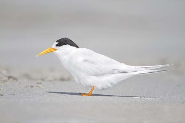 Fairy Tern | Sterna nereis photo