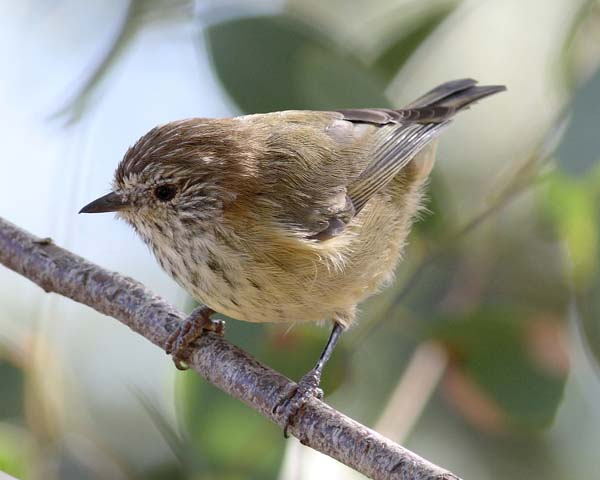 Striated Thornbill | Acanthiza lineata photo