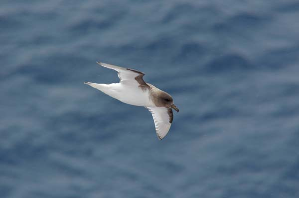 Antarctic Petrel | Thalassoica antarctica photo