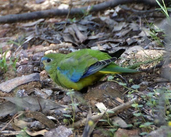 Turquoise Parrot | Neophema pulchella photo