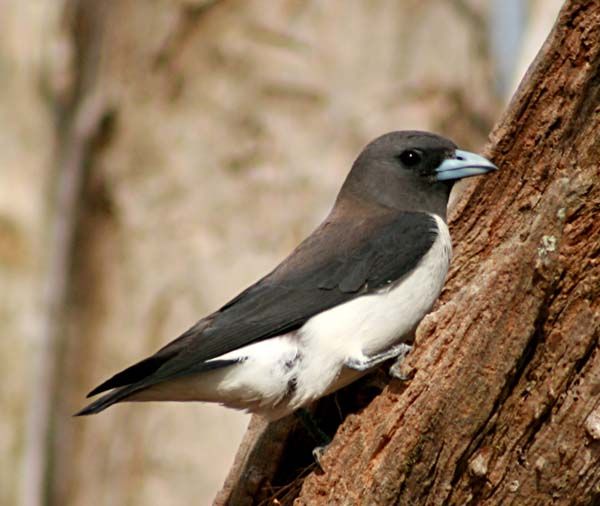 White-breasted Woodswallow | Artamus leucorynchus photo