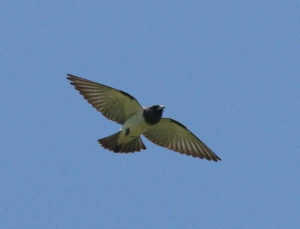 White-breasted Woodswallow | Artamus leucorynchus photo