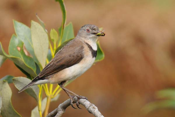 White-fronted Chat | Epthianura albifrons photo