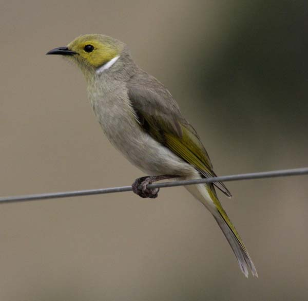 White-plumed Honeyeater | Lichenostomus penicillatus photo