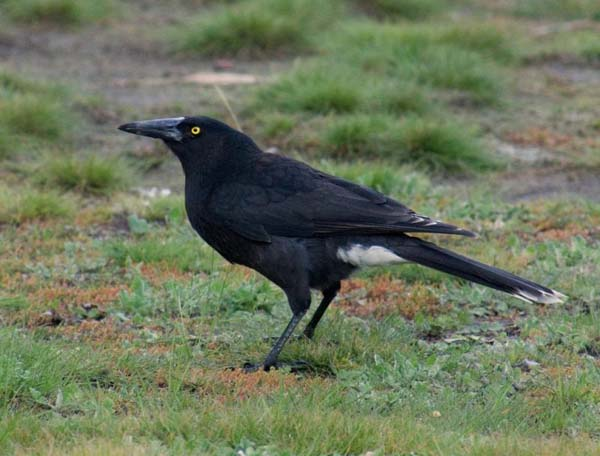 Clinking Currawong | Strepera versicolor arguta photo