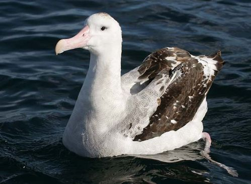 Wandering Albatross | Diomedea exulans photo