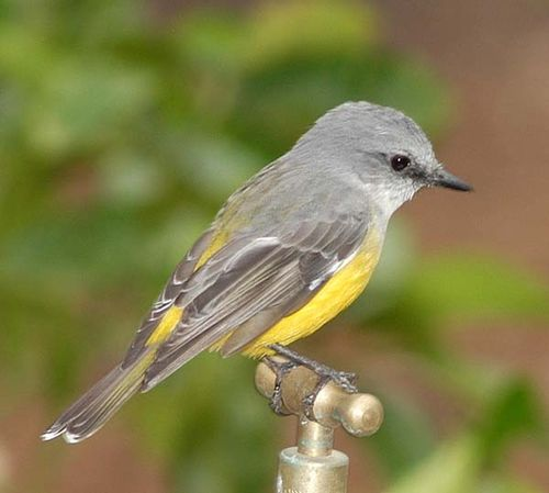 Western Yellow Robin | Eopsaltria griseogularis photo