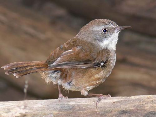 White-browed Scrubwren | Sericornis frontalis photo