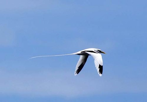 White-tailed Tropicbird | Phaethon lepturus photo