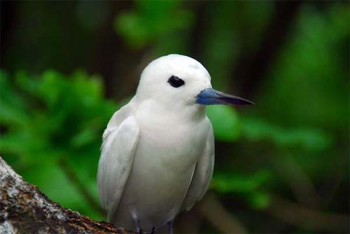 White Tern | Gygis alba photo