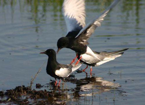 White-winged Black Tern | Chlidonias leucopterus photo