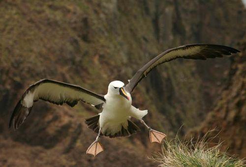 Yellow-nosed Albatross | Thalassarche chlororhynchos photo