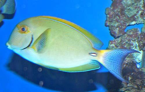 Eyestripe Surgeonfish | Acanthurus dussumieri photo