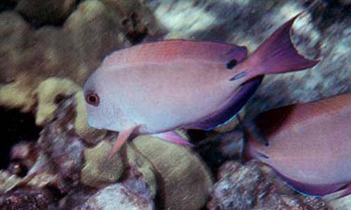 Brown Surgeonfish | Acanthurus nigrofuscus photo