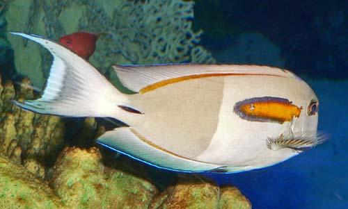Orangeband Surgeonfish | Acanthurus olivaceus photo