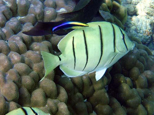 Convict Surgeonfish | Acanthurus triostegus photo
