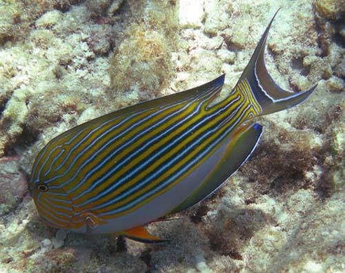 Striped Surgeonfish | Acanthurus lineatus photo