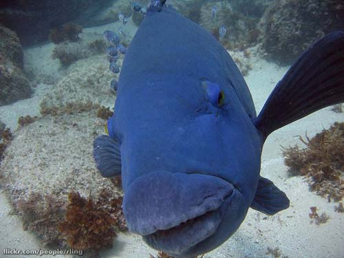 Eastern Blue Groper | Achoerodus viridis photo