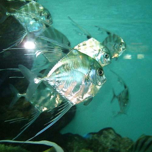 Pennantfish   Alectis ciliaris photo
