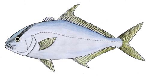 Highfin Amberjack | Seriola rivoliana photo