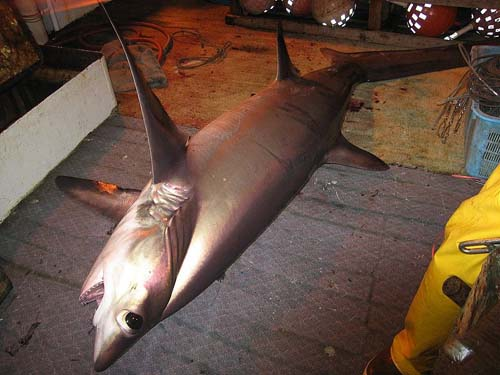 Bigeye Thresher Shark | Alopias superciliosus photo