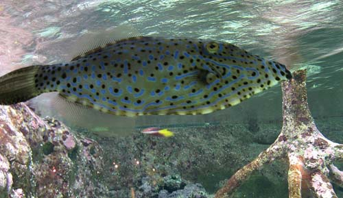Scribbled Leatherjacket | Aluterus scriptus photo