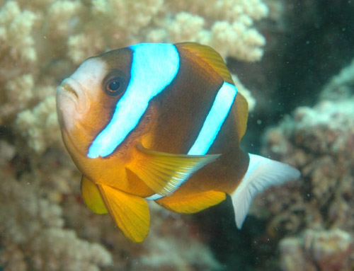 Barrier Reef Anemonefish | Amphiprion akindynos photo