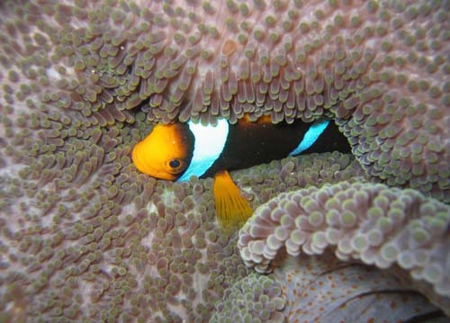 Orange-fin Anemonefish | Amphiprion chrysopterus photo