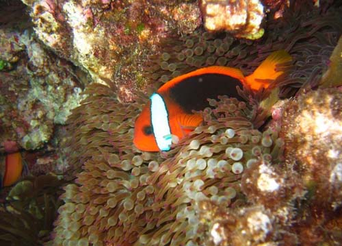 Red and Black Anemonefish | Amphiprion melanopus photo